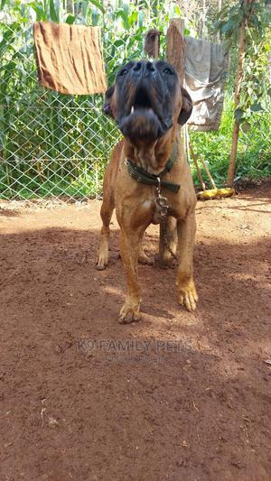 1+ Year Female Purebred Boerboel | Dogs & Puppies for sale in Uasin Gishu, Eldoret CBD
