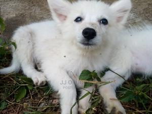 1-3 Month Male Mixed Breed Japanese Spitz   Dogs & Puppies for sale in Nairobi, Karen