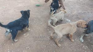 1-3 Month Male Mixed Breed Vizsla   Dogs & Puppies for sale in Uasin Gishu, Eldoret CBD