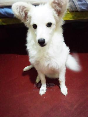 6-12 Month Female Mixed Breed Japanese Spitz | Dogs & Puppies for sale in Nairobi, Embakasi