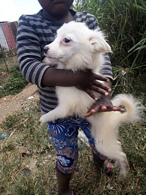1-3 Month Female Purebred Japanese Spitz | Dogs & Puppies for sale in Nairobi, Dagoretti