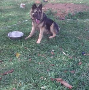 6-12 Month Male Purebred German Shepherd   Dogs & Puppies for sale in Uasin Gishu, Eldoret CBD