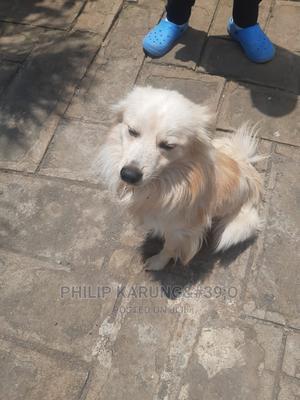 1+ Year Male Purebred Japanese Spitz | Dogs & Puppies for sale in Nakuru, Nakuru Town East