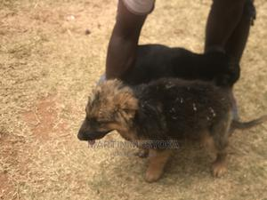 1-3 Month Male Mixed Breed German Shepherd   Dogs & Puppies for sale in Machakos, Kathiani