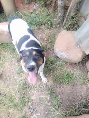 6-12 Month Female Mixed Breed Jack Russell Terrier | Dogs & Puppies for sale in Kiambu, Ruiru