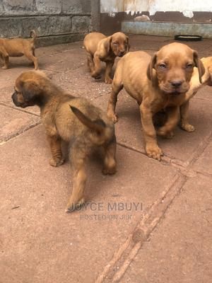 1-3 Month Male Mixed Breed Boerboel | Dogs & Puppies for sale in Kajiado, Ongata Rongai