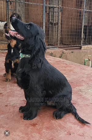 3-6 Month Female Purebred Cocker Spaniel   Dogs & Puppies for sale in Kiambu, Ruiru