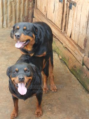 0-1 Month Male Purebred Rottweiler   Dogs & Puppies for sale in Trans-Nzoia, Kitale