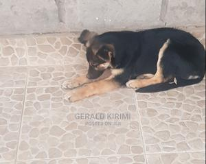 3-6 Month Female Purebred German Shepherd   Dogs & Puppies for sale in Machakos, Syokimau