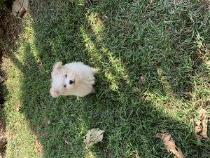 1-3 Month Male Purebred Maltese | Dogs & Puppies for sale in Kiambu, Kiambu / Kiambu