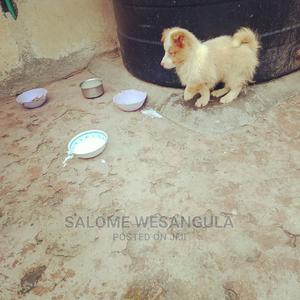 3-6 Month Female Mixed Breed Japanese Spitz | Dogs & Puppies for sale in Nairobi, Embakasi