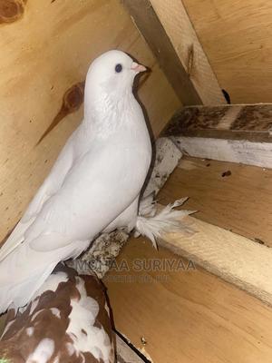 Male Shungi Flare | Birds for sale in Mombasa, Mvita