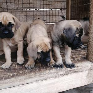 1-3 Month Female Purebred Boerboel | Dogs & Puppies for sale in Nairobi, Westlands