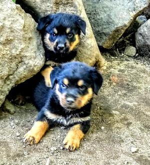 1-3 Month Male Purebred Rottweiler   Dogs & Puppies for sale in Nairobi, Westlands