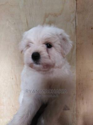 1-3 Month Male Purebred Maltese   Dogs & Puppies for sale in Nairobi, Roysambu