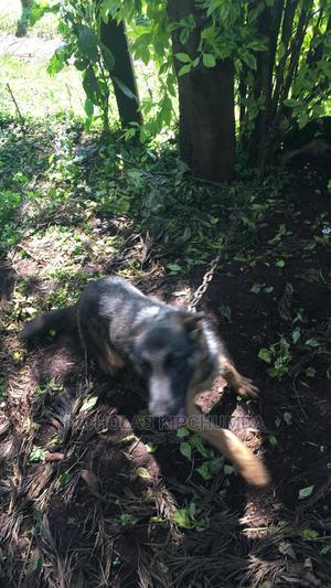 3-6 Month Female Purebred German Shepherd   Dogs & Puppies for sale in Nandi, Kabisaga