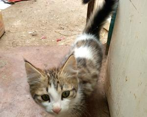 1-3 month Male Mixed Breed American Bobtail | Cats & Kittens for sale in Nairobi, Mwiki