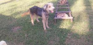 6-12 Month Male Purebred Silky Terrier | Dogs & Puppies for sale in Mombasa, Mvita