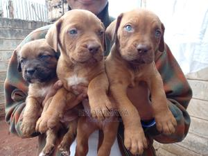 3-6 Month Male Purebred Boerboel | Dogs & Puppies for sale in Nairobi, Langata