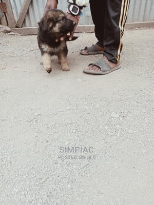 3-6 Month Female Purebred German Shepherd   Dogs & Puppies for sale in Nairobi, Donholm