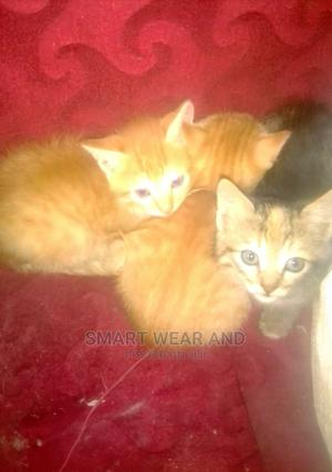 1-3 Month Male Mixed Breed Ragdoll   Cats & Kittens for sale in Nairobi, Kasarani
