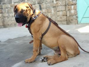 1+ Year Male Purebred Boerboel | Dogs & Puppies for sale in Kiambu, Ruiru