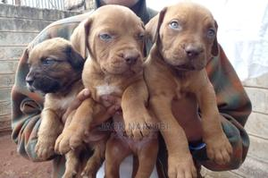 1-3 Month Male Purebred Boerboel   Dogs & Puppies for sale in Nairobi, Karen