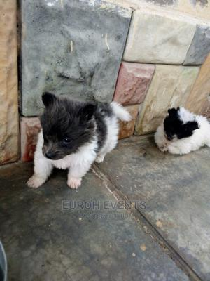 1-3 month Female Purebred Japanese Spitz | Dogs & Puppies for sale in Mombasa, Bamburi