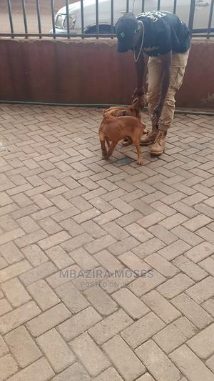 1-3 Month Female Purebred Boerboel   Dogs & Puppies for sale in Nairobi, Dagoretti