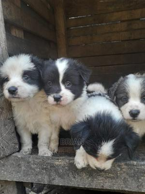 1-3 Month Female Mixed Breed Pomeranian | Dogs & Puppies for sale in Nairobi, Donholm