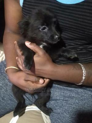 3-6 Month Female Mixed Breed Japanese Spitz | Dogs & Puppies for sale in Nairobi, Kibra