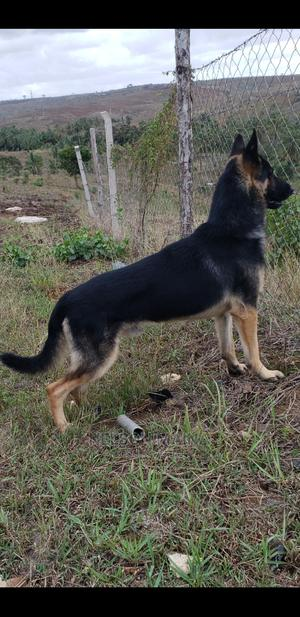 1+ Year Male Purebred German Shepherd   Dogs & Puppies for sale in Mombasa, Tudor