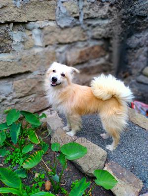 1+ year Male Purebred Chihuahua | Dogs & Puppies for sale in Nairobi, Kamulu