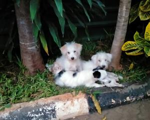 1-3 month Female Mixed Breed Pomeranian | Dogs & Puppies for sale in Mombasa, Nyali