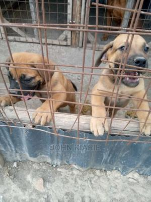 1-3 Month Male Purebred Boerboel | Dogs & Puppies for sale in Nairobi, Utawala