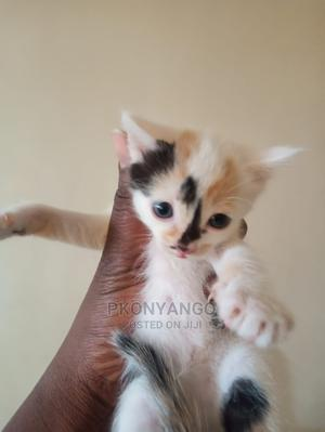 1-3 Month Male Mixed Breed Exotic   Cats & Kittens for sale in Nairobi, Nairobi Central