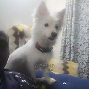 6-12 month Male Purebred Japanese Spitz | Dogs & Puppies for sale in Machakos, Syokimau