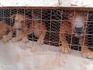 1-3 Month Male Purebred Boerboel   Dogs & Puppies for sale in Nairobi, Dagoretti