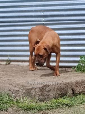 6-12 Month Female Purebred Boerboel   Dogs & Puppies for sale in Nakuru, Njoro