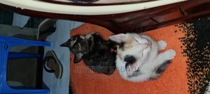 0-1 Month Male Purebred American Shorthair   Cats & Kittens for sale in Kiambu, Ruiru