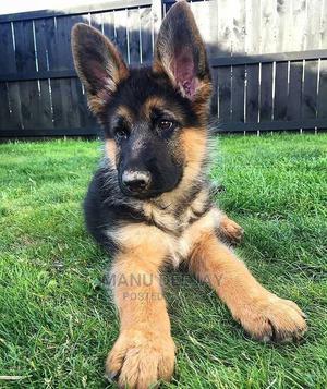 1-3 Month Female Purebred German Shepherd   Dogs & Puppies for sale in Nairobi, Embakasi