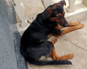 6-12 Month Male Mixed Breed Rottweiler   Dogs & Puppies for sale in Mombasa, Bamburi