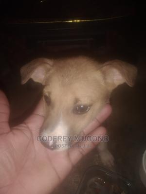 3-6 Month Male Purebred Cat | Cats & Kittens for sale in Nairobi, Lavington