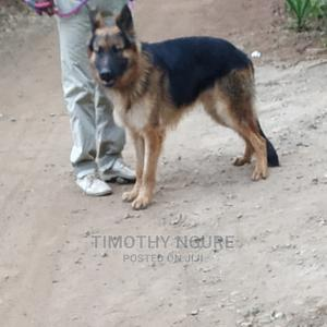 0-1 Month Female Purebred German Shepherd   Dogs & Puppies for sale in Kiambu, Thika