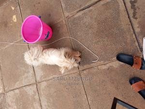 6-12 Month Female Mixed Breed Maltese | Dogs & Puppies for sale in Nairobi, Langata