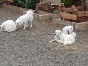 6-12 Month Male Purebred Japanese Spitz | Dogs & Puppies for sale in Kiambu, Ruiru