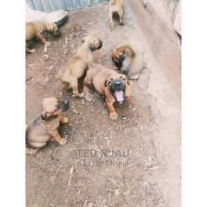 1-3 month Female Purebred Boerboel   Dogs & Puppies for sale in Kajiado, Ngong