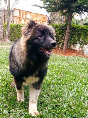 3-6 Month Female Purebred Caucasian Shepherd   Dogs & Puppies for sale in Nairobi, Githurai