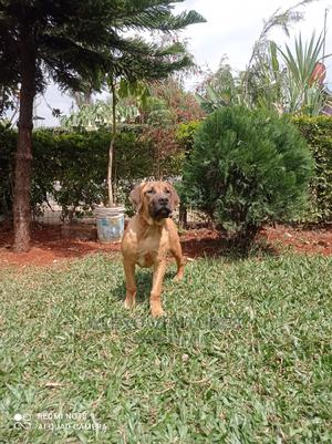 3-6 month Female Purebred Boerboel   Dogs & Puppies for sale in Nairobi, Githurai
