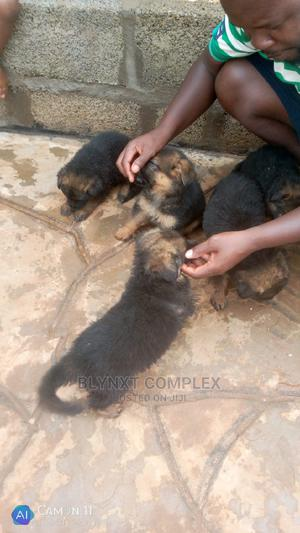 0-1 Month Male Purebred German Shepherd   Dogs & Puppies for sale in Mombasa, Nyali